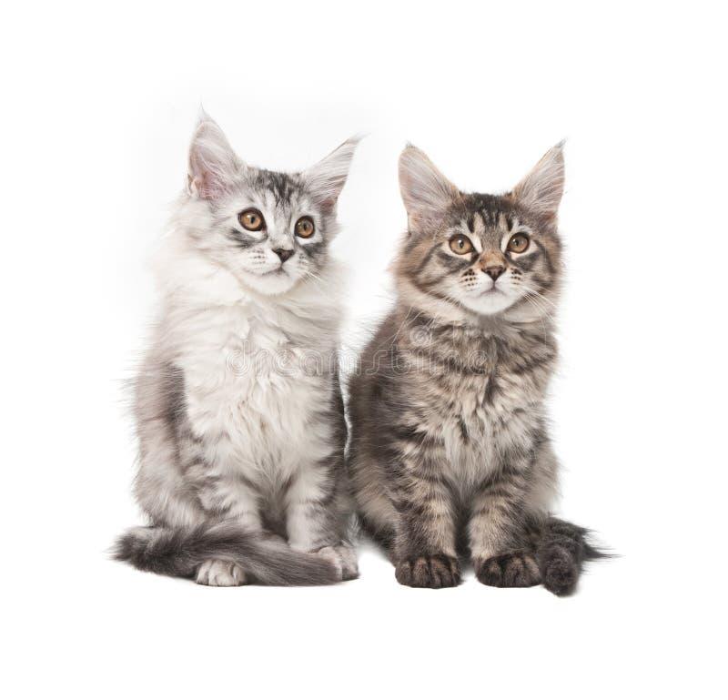 Dois gatinhos macios imagem de stock royalty free