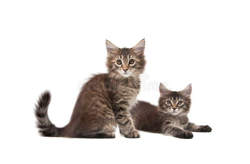 Dois gatinhos macios fotografia de stock
