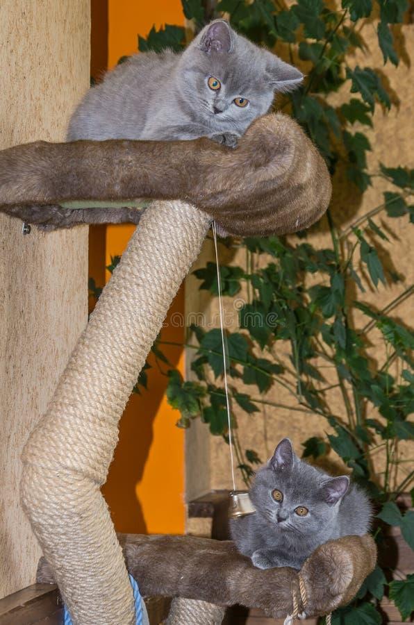 Dois gatinhos macios pequenos são jogados na prateleira fotos de stock