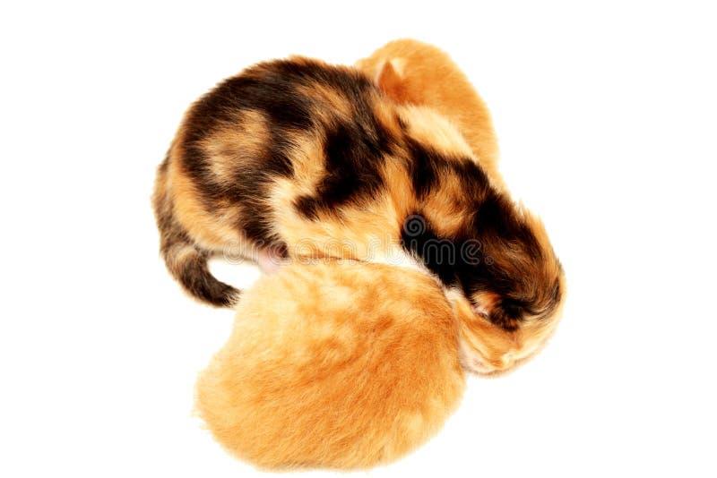 Dois gatinhos que encontram-se no fundo branco imagem de stock royalty free