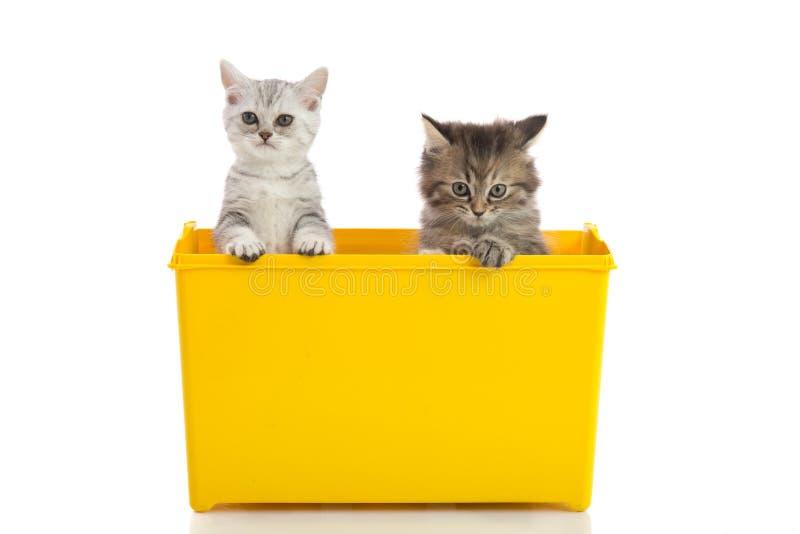 Dois gatinhos que jogam na caixa amarela fotos de stock