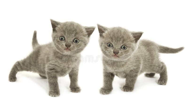 Dois gatinhos sobre o branco foto de stock royalty free