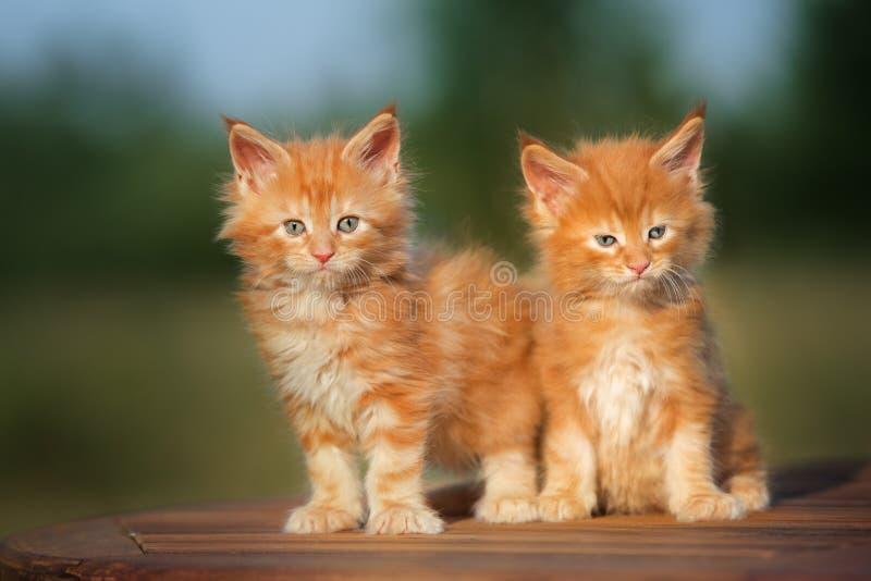 Dois gatinhos vermelhos do racum de maine fotos de stock royalty free