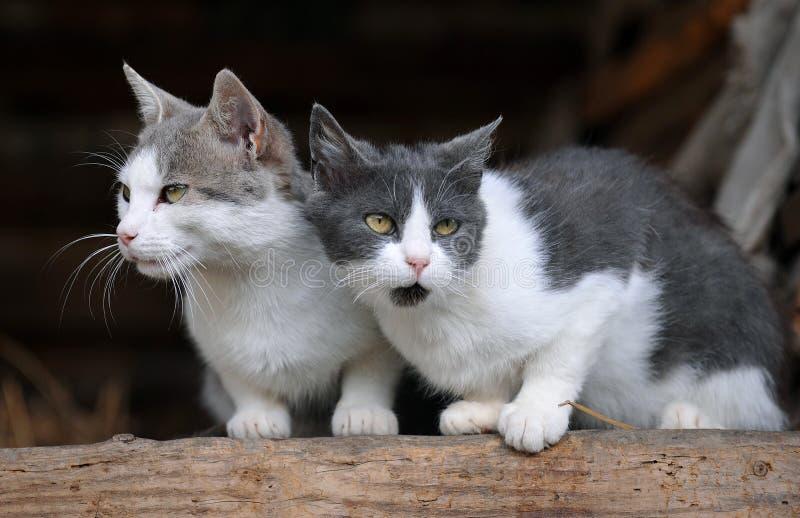 Dois gatos bonitos fotos de stock royalty free