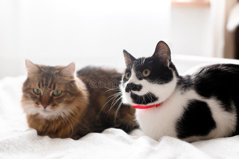 Dois gatos bonitos que sentam-se e que relaxam na cama branca na sala à moda ensolarada Racum e gato de Maine com o bigode que de imagens de stock royalty free