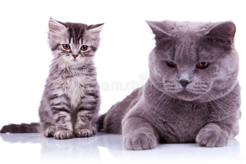 Dois gatos britânicos curiosos que olham para baixo imagens de stock royalty free