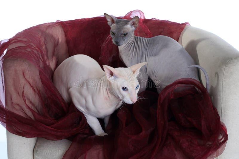 Dois gatos calvos do sphinx imagem de stock royalty free