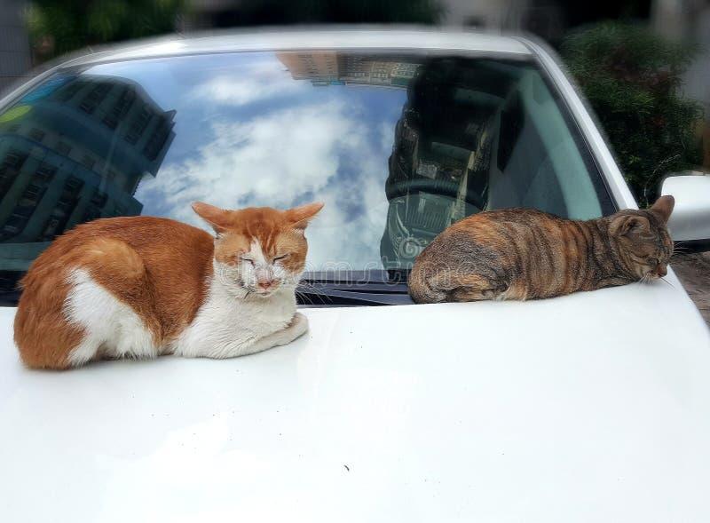 Dois gatos do sono fotografia de stock