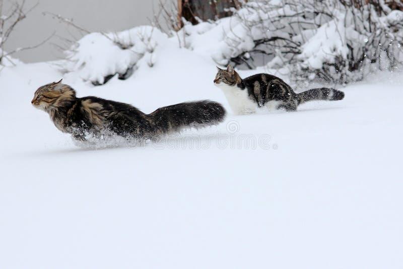 Dois gatos na neve imagem de stock royalty free