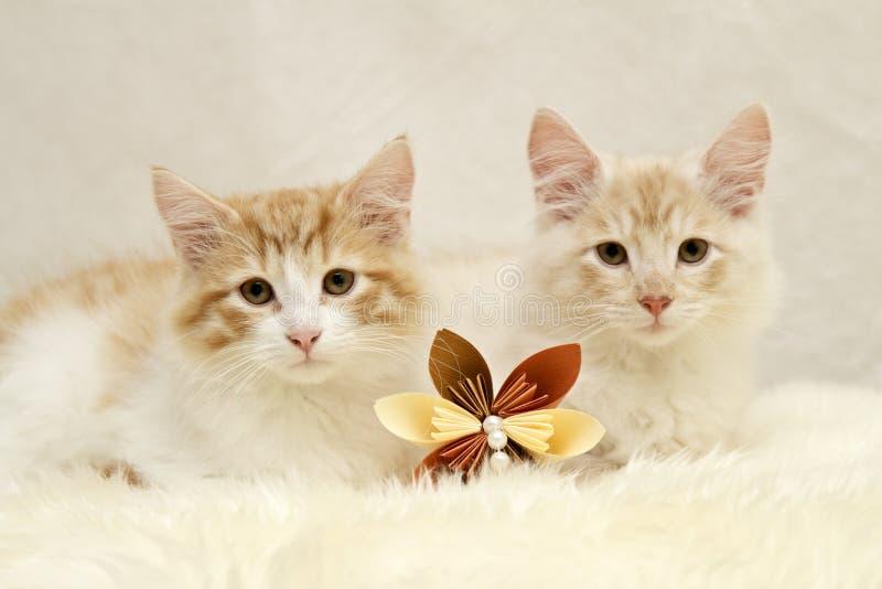 Dois gatos noruegueses da floresta com uma flor de papel marrom fotos de stock