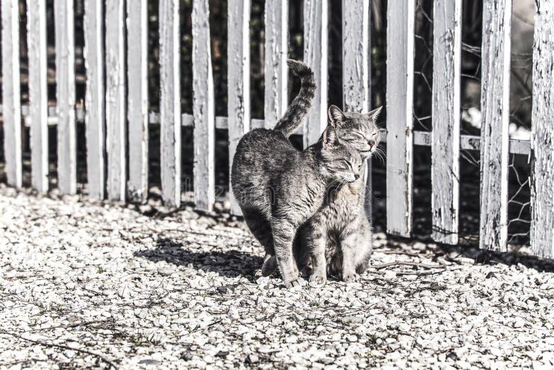 Dois gatos que friccionam seus mordentes em uma exploração agrícola em um dia ensolarado, isolado Fotografia colorida Faded, foto imagem de stock royalty free