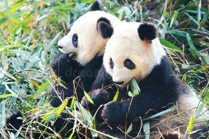 Dois gigante Panda Bears que come o bambu, China imagem de stock royalty free