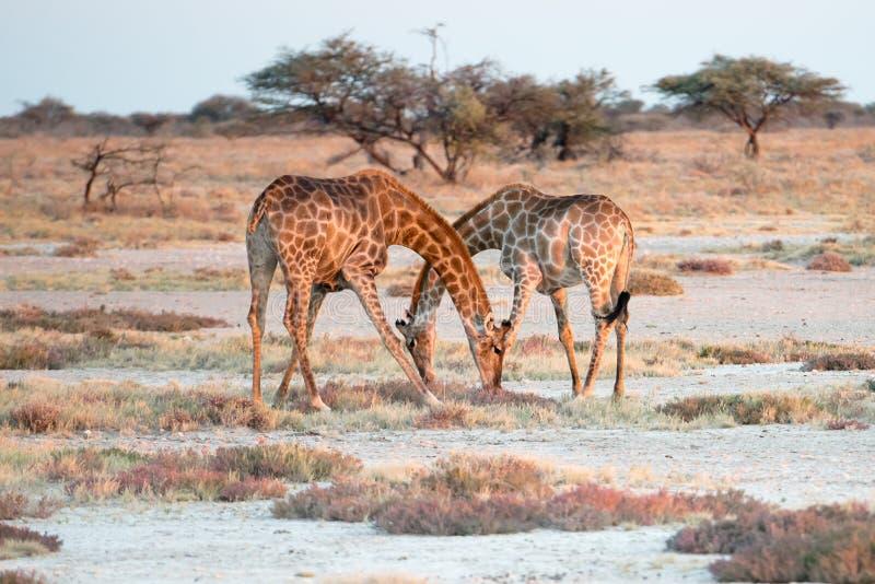 Dois girafas namibianos estão cruzando elegantemente seus pescoços imagens de stock