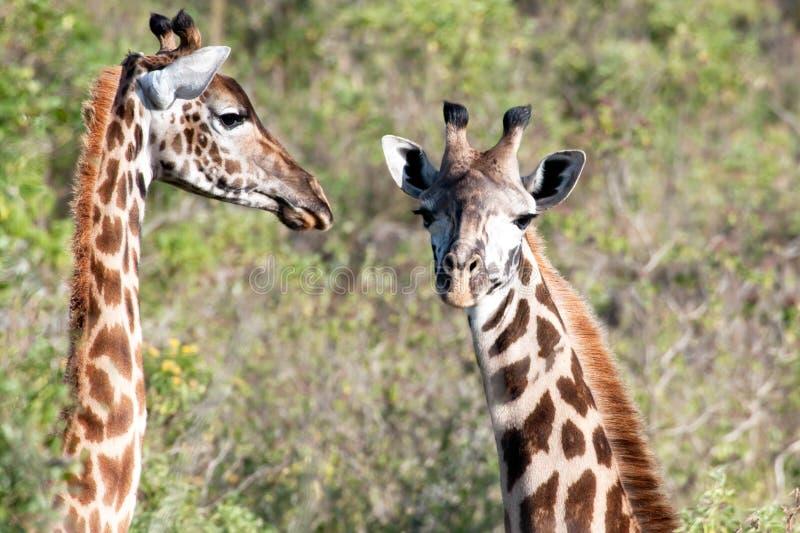 Dois girafas novos, calfes bonitos do girafa em Tanzânia, África fotografia de stock