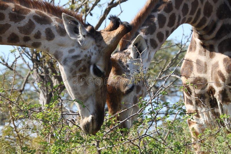 Dois girafas que comem da mesma árvore fotos de stock