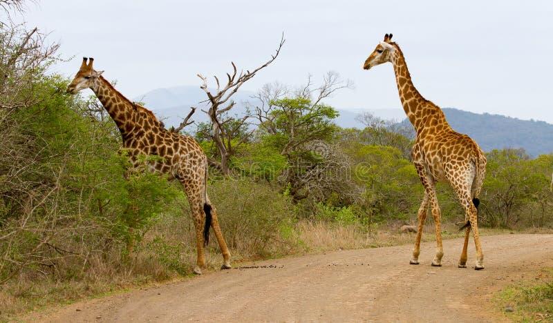 Dois girafas que cruzam uma estrada na reserva do jogo de Hluhluwe/Imfolozi em Kwazulu Natal, África do Sul foto de stock