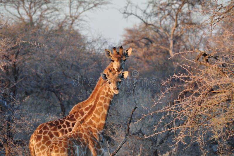 Dois girafas selvagens no por do sol no savana africano imagem de stock