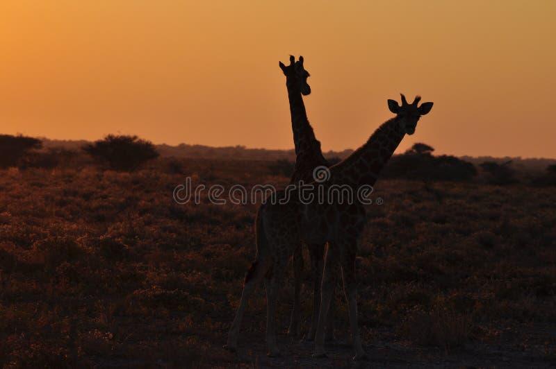 Dois girafas selvagens no por do sol no savana africano fotografia de stock royalty free