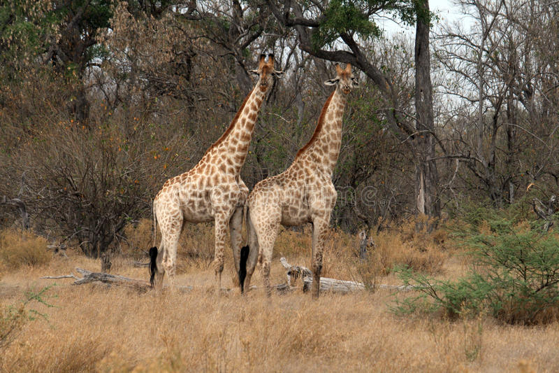 Dois giraffes foto de stock royalty free