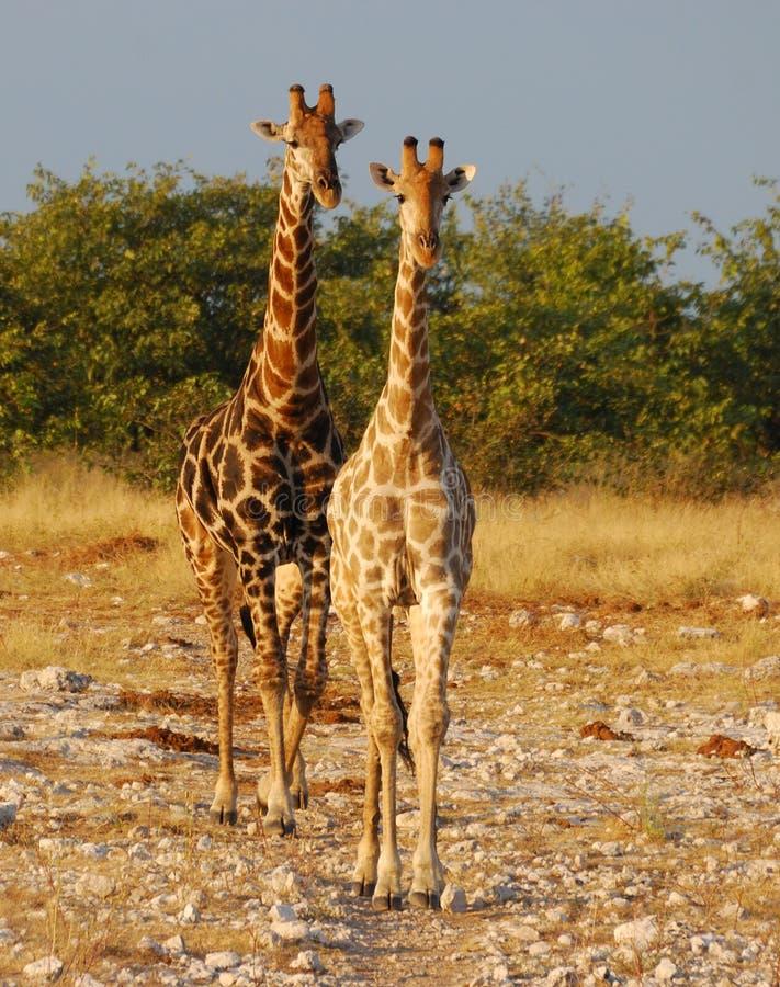 Dois Giraffes em Etosha imagens de stock royalty free