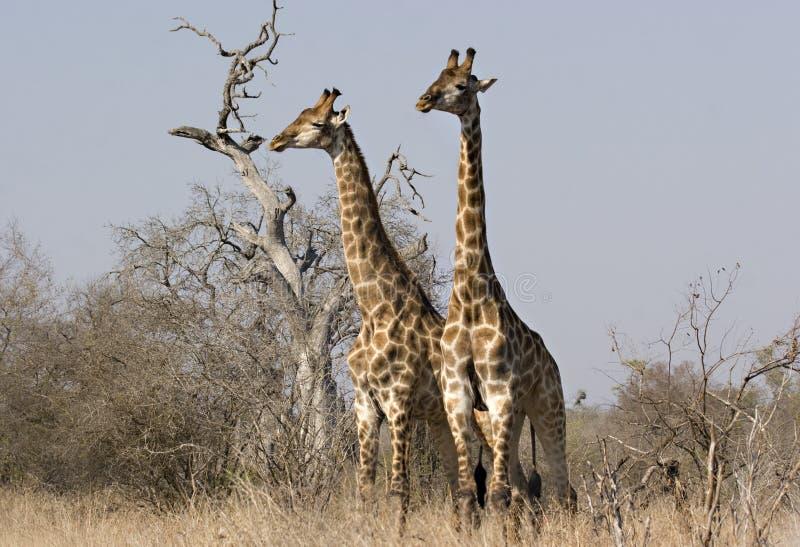 Dois giraffes no parque de Kruger foto de stock