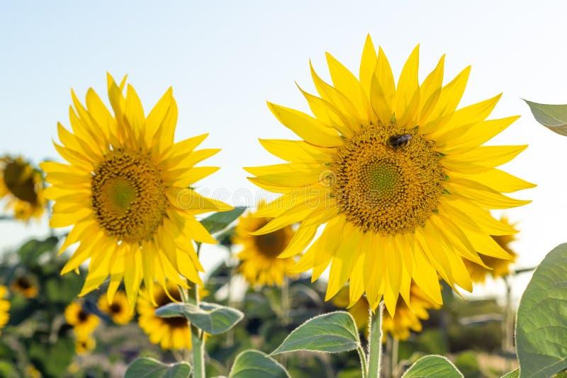 Dois girassóis amarelos com zangão em um dia ensolarado contra o céu fotografia de stock