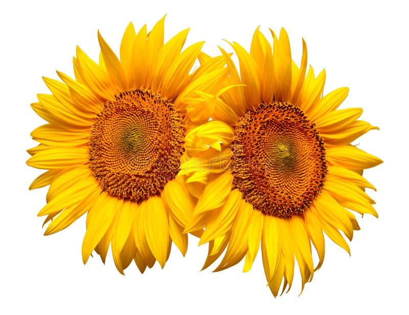 Dois girassóis isolados no fundo branco Ramalhete da flor imagens de stock royalty free