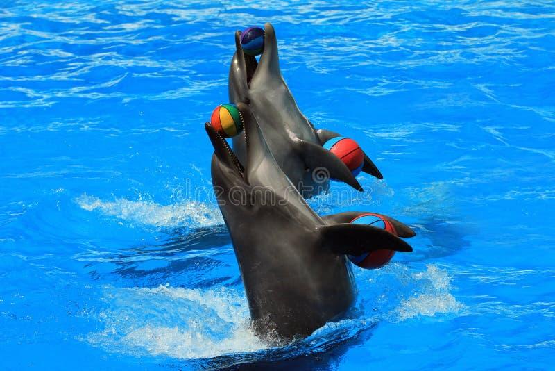 Dois golfinhos com bolas em uma associação fotografia de stock royalty free
