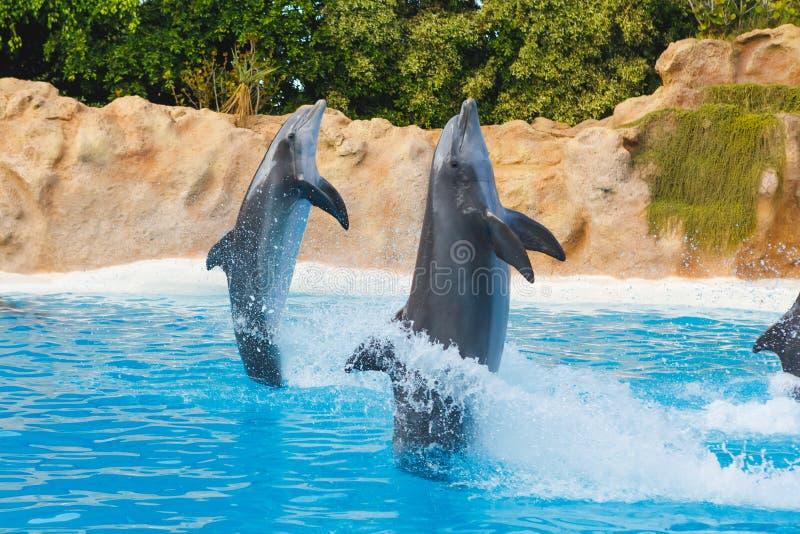 Dois golfinhos de corrida no parque animal imagens de stock royalty free