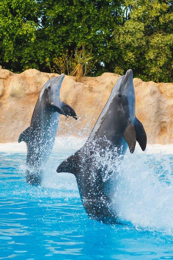 Dois golfinhos de dança na água azul fotografia de stock royalty free