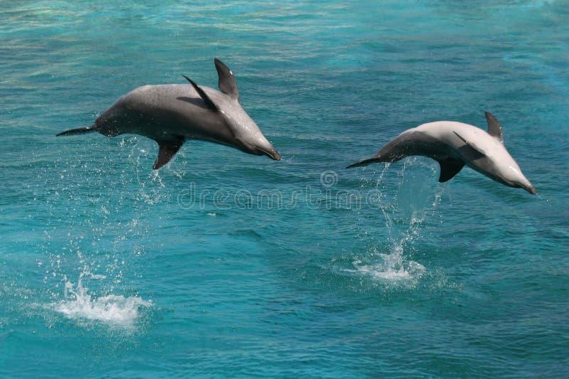 Dois golfinhos do nariz do frasco fotografia de stock royalty free