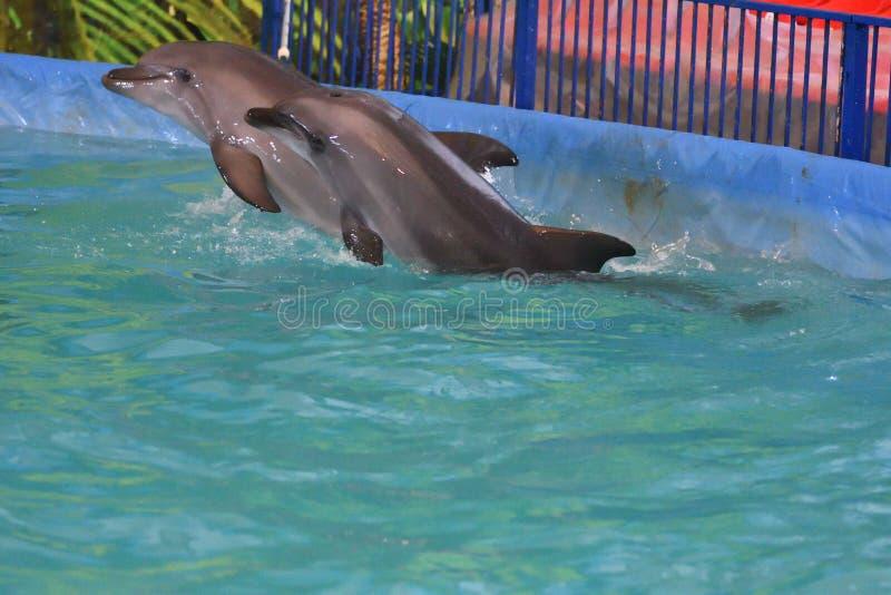 Dois golfinhos na água imagem de stock