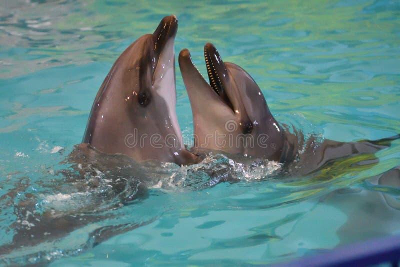 Dois golfinhos na água imagens de stock