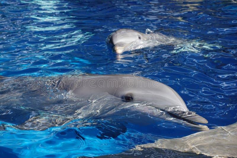 Dois golfinhos na ?gua foto de stock