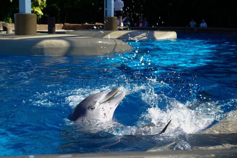 Dois golfinhos na ?gua imagem de stock royalty free