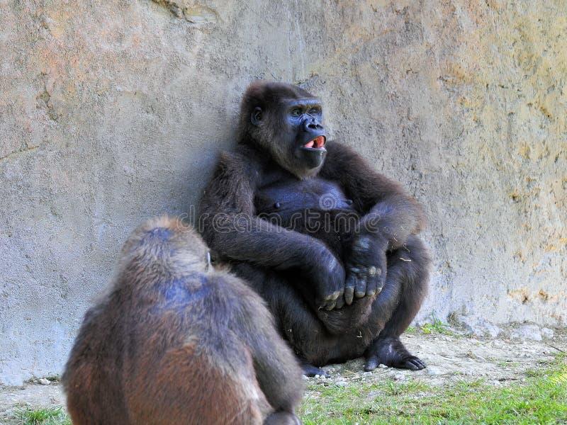 Dois gorila da planície fotografia de stock royalty free