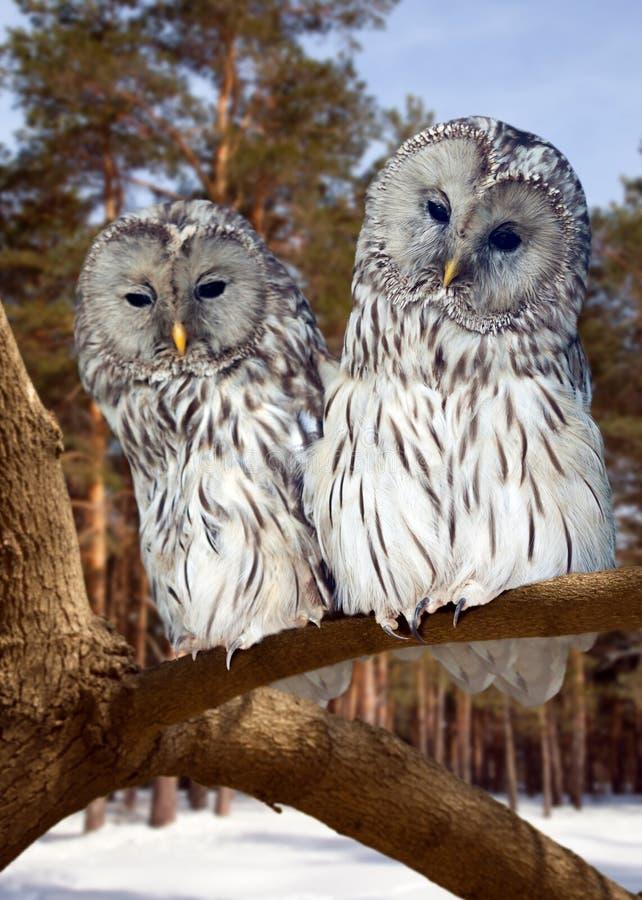 Dois grande Grey Owls no inverno imagens de stock royalty free