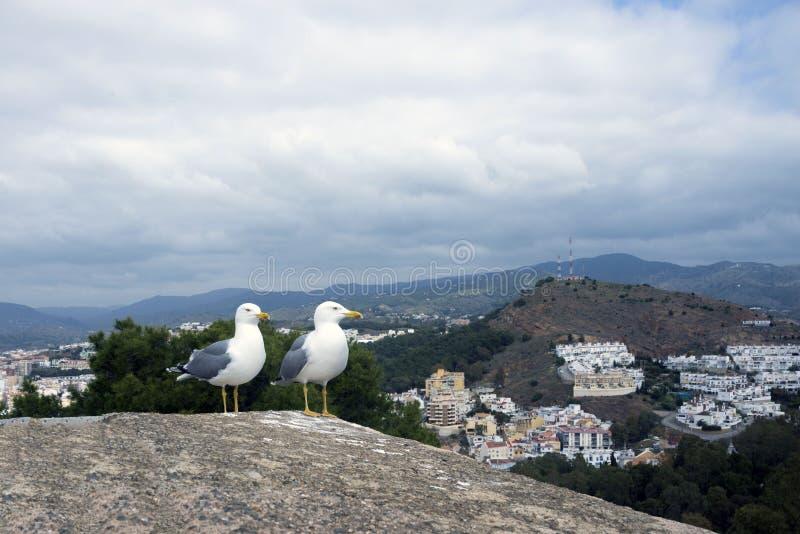 Dois grandes michahellis mediterrâneos do Larus das gaivota estão na parede de pedra da fortaleza velha contra o contexto da mont fotografia de stock