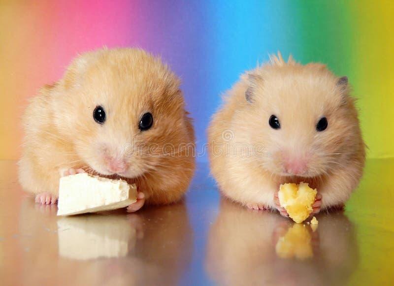 Dois hamster sírios que comem o jantar junto imagem de stock royalty free