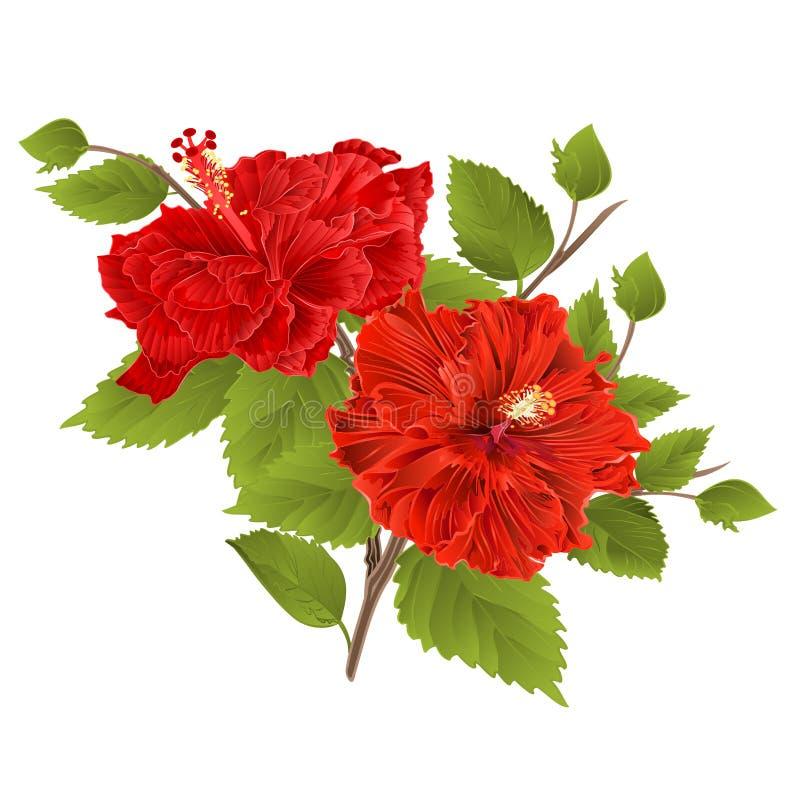 Dois hibiscus vermelhos do hibiscus provêm a flor tropical em um vetor branco do vintage do fundo foto de stock