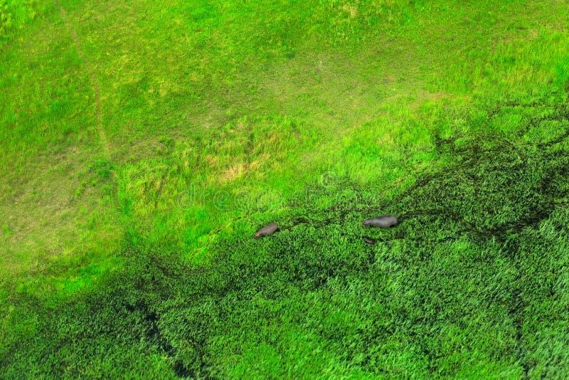 Dois hipopótamo na água, paisagem aérea no delta de Okavango, Botswana Lagos e rios, vista do avião Vegetação verde dentro imagem de stock