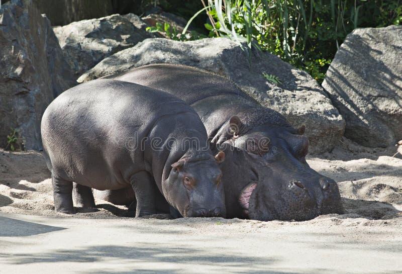 Dois hipopótamos, mãe e criança fotografia de stock