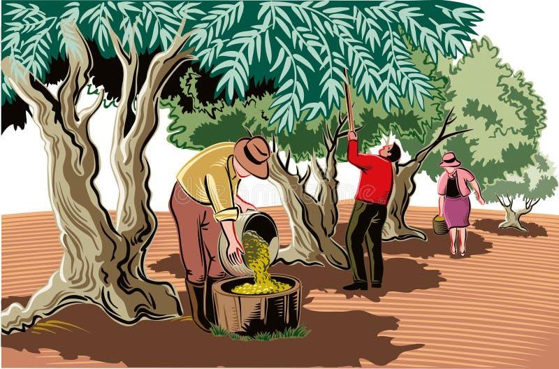 Dois homens e uma mulher recolhem as azeitonas diretamente da árvore ilustração stock