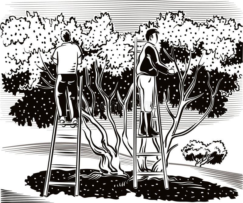 Dois homens recolhem as azeitonas diretamente da árvore ilustração do vetor