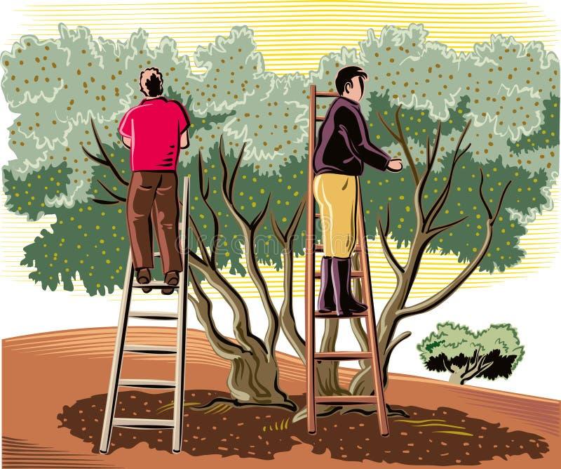 Dois homens recolhem as azeitonas diretamente da árvore ilustração stock