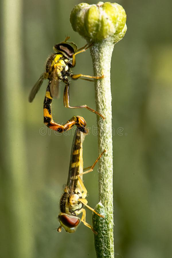 Dois hoverflies no acoplamento em uma haste de flor imagens de stock royalty free