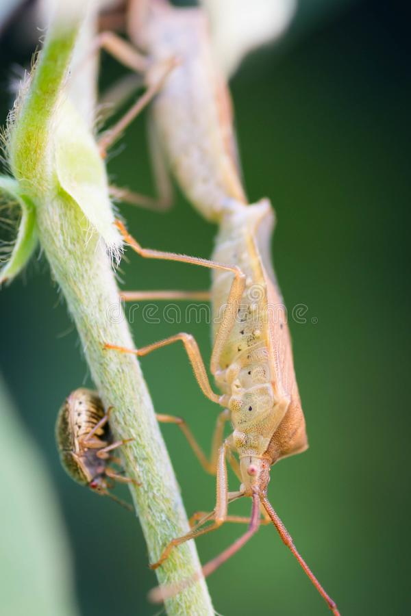 Dois insetos marrons minúsculos de acoplamento em um ramo ou em um galho verde durante a estação de acoplamento do inseto no verã fotos de stock