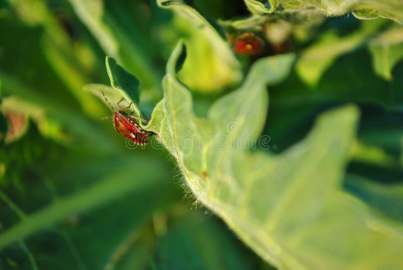 Dois insetos vermelhos de baccarum em folhas verdes, um chaveiro macio fotos de stock