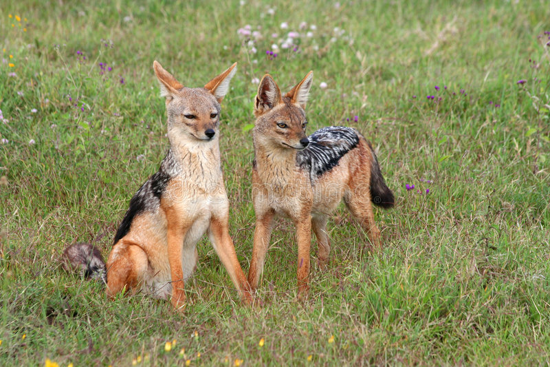 Dois jackals fotos de stock royalty free