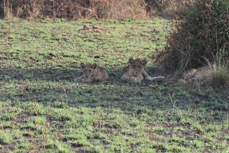 Dois jovens leões no Parque Nacional da Rainha Elizabeth, Uganda imagens de stock royalty free